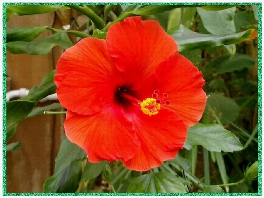 Hibiskus rosa-sinensis