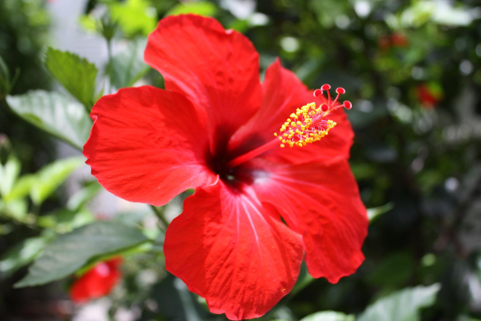 hibiskus sosch n kann rot aussehen foto bild pflanzen pilze flechten bl ten. Black Bedroom Furniture Sets. Home Design Ideas