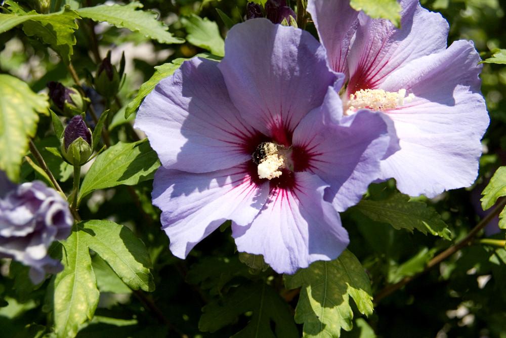 Hibiskus und Biene