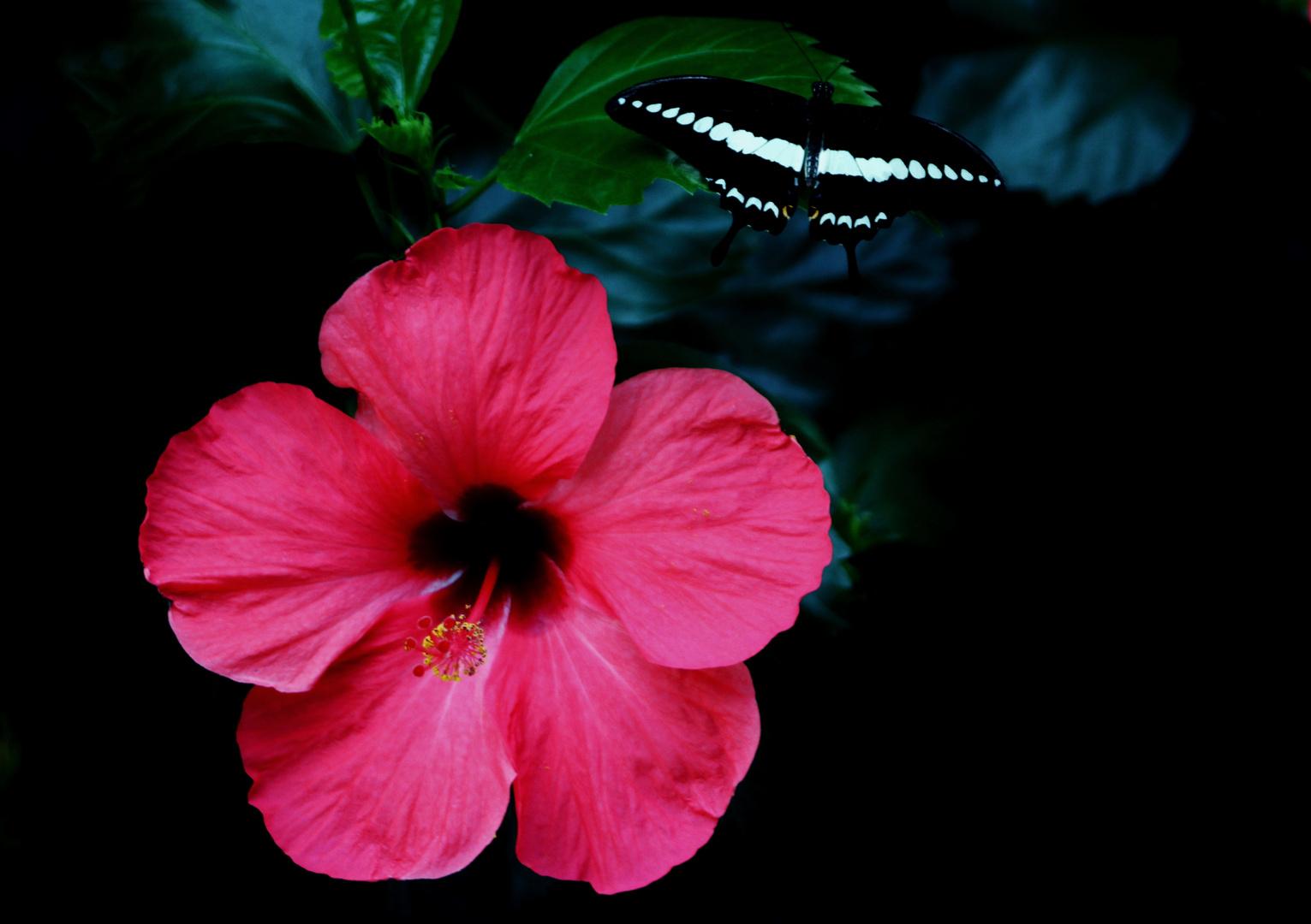 Hibiskus und Schmetterling