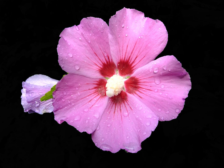 Hibiskusblüte (1)