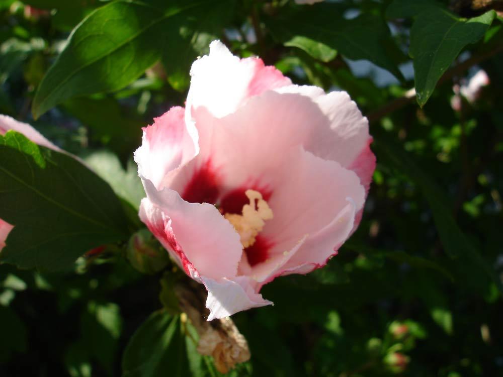 Hibiskusblüte (2)