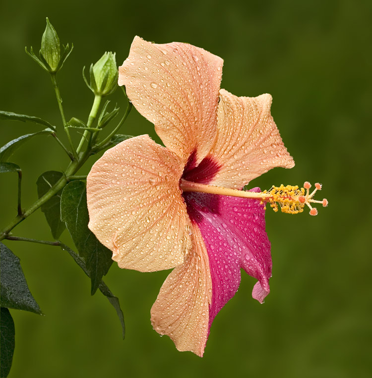 Hibiskusblüte 3