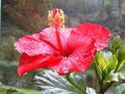 Hibiskusblüte - prachtvoll auch im Herbst