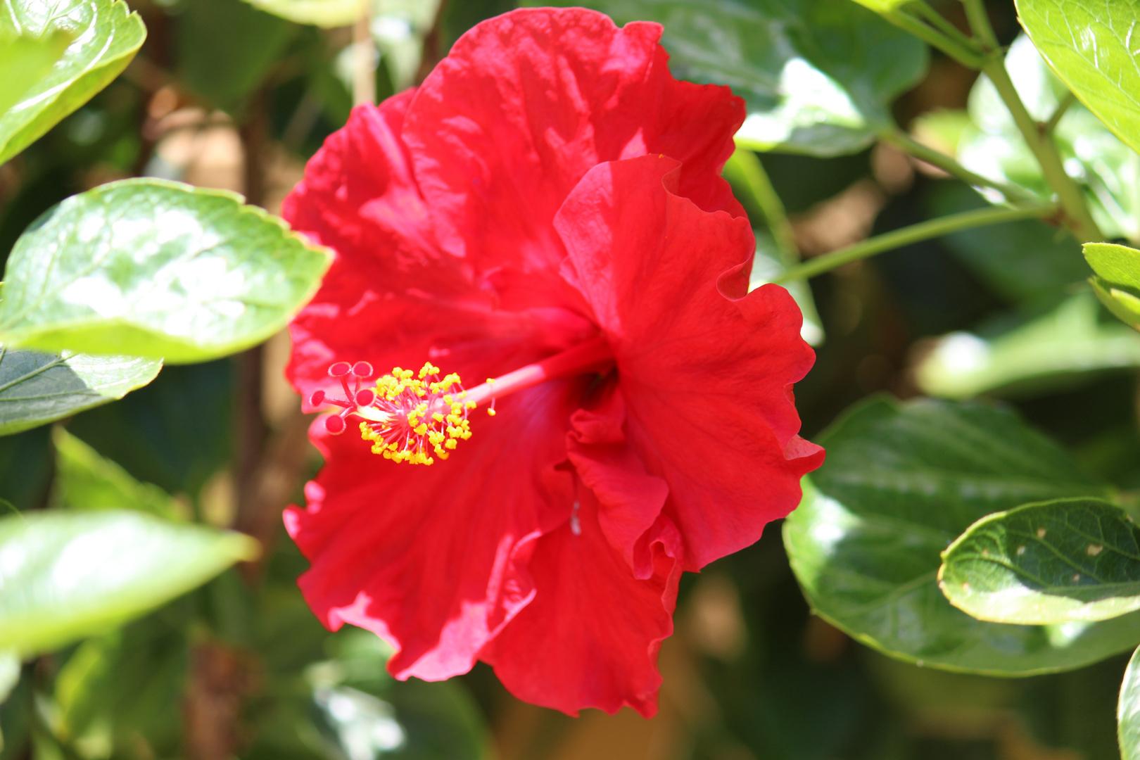 Hibiskusblüte rot
