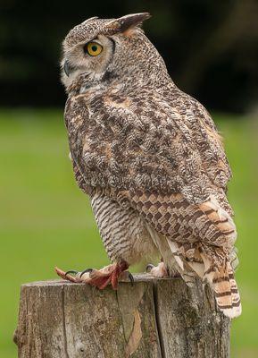 Hibou Grand Duc  -  Eurasian Eagle Owl