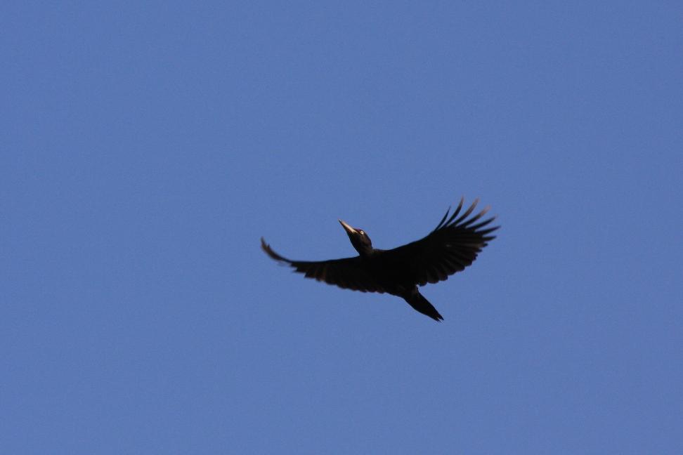 Hier fliegt der Zimmermann vom Waldstück nebenan