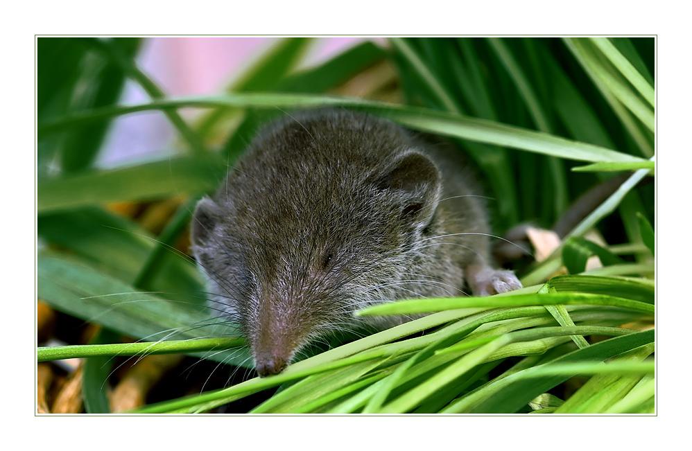 Hier kommt die Maus