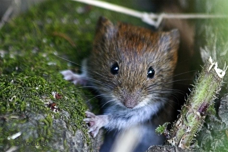 Hier kommt die Maus...