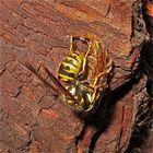 Hier macht eine Wespe leichte Beute: sie frißt einen von einer Spinne zuvor gefangenen . . .