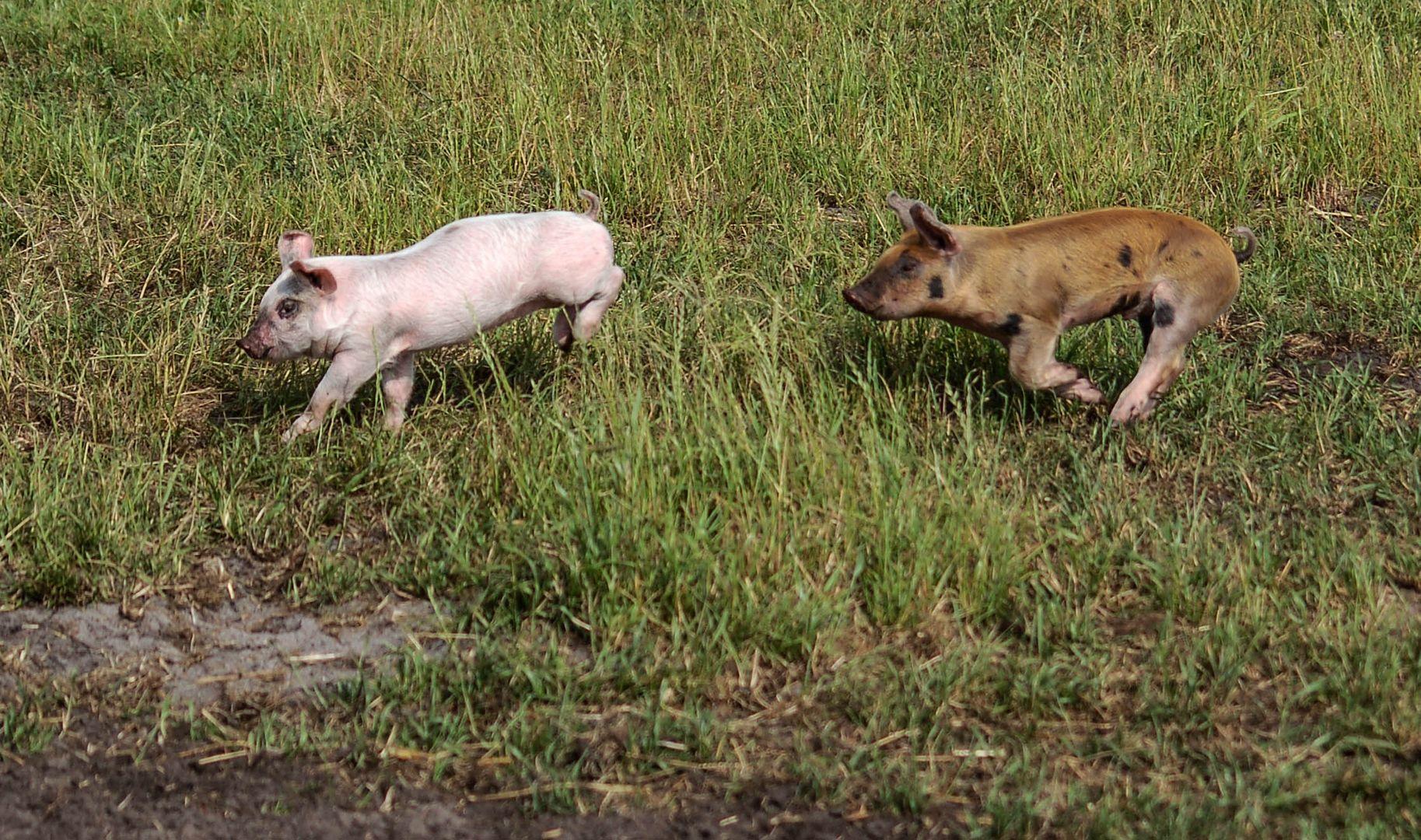 Hier sind wir Schwein,..................