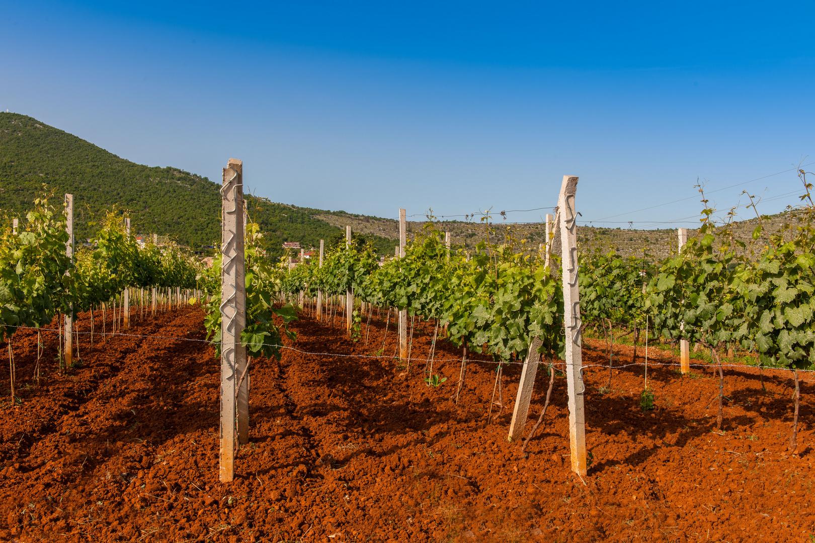 Hier wächst sie - die wunderbare Blatina Weintraube
