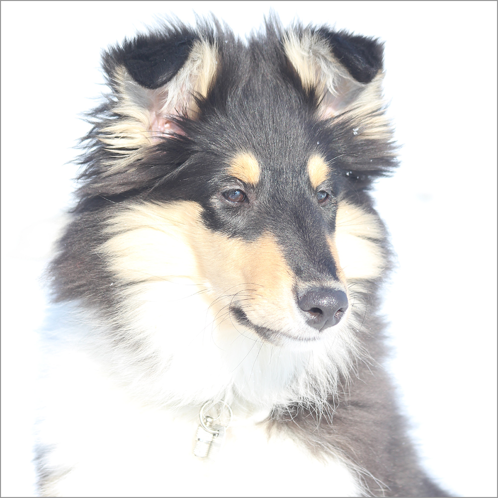 High Key Collie I