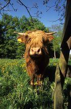 HIghland Cattle 01