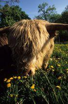 HIghland Cattle 02