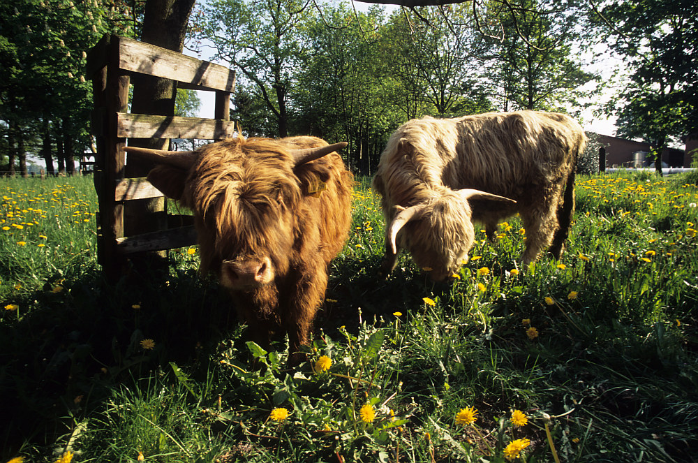 HIghland Cattle 03