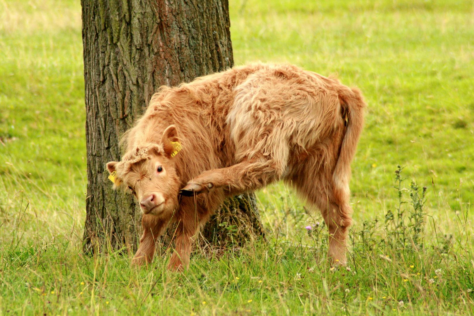 Highland Cattle 2