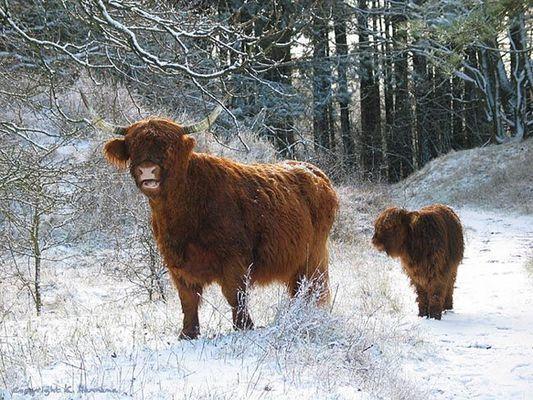Highlanders in national park Heereduinen