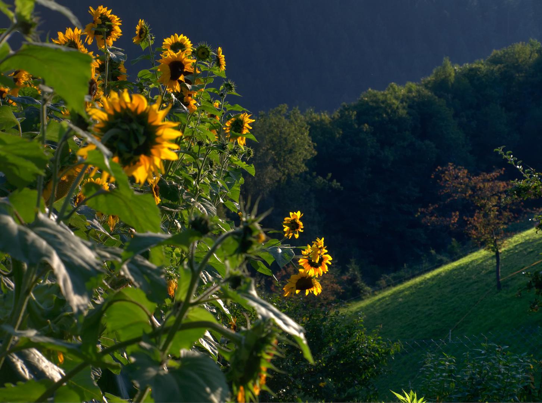 Hildegard's Sonnenblumen II