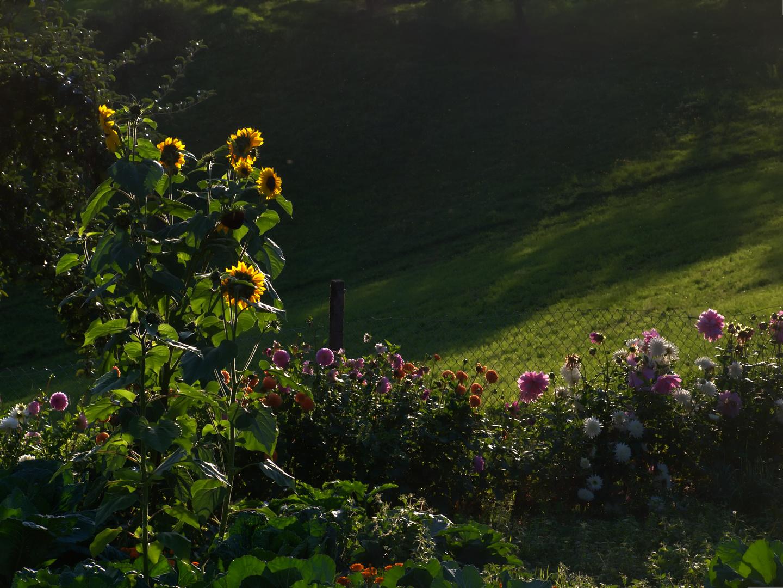 Hildegard's Sonnenblumen III - mitten in ihrem Bauerngarten