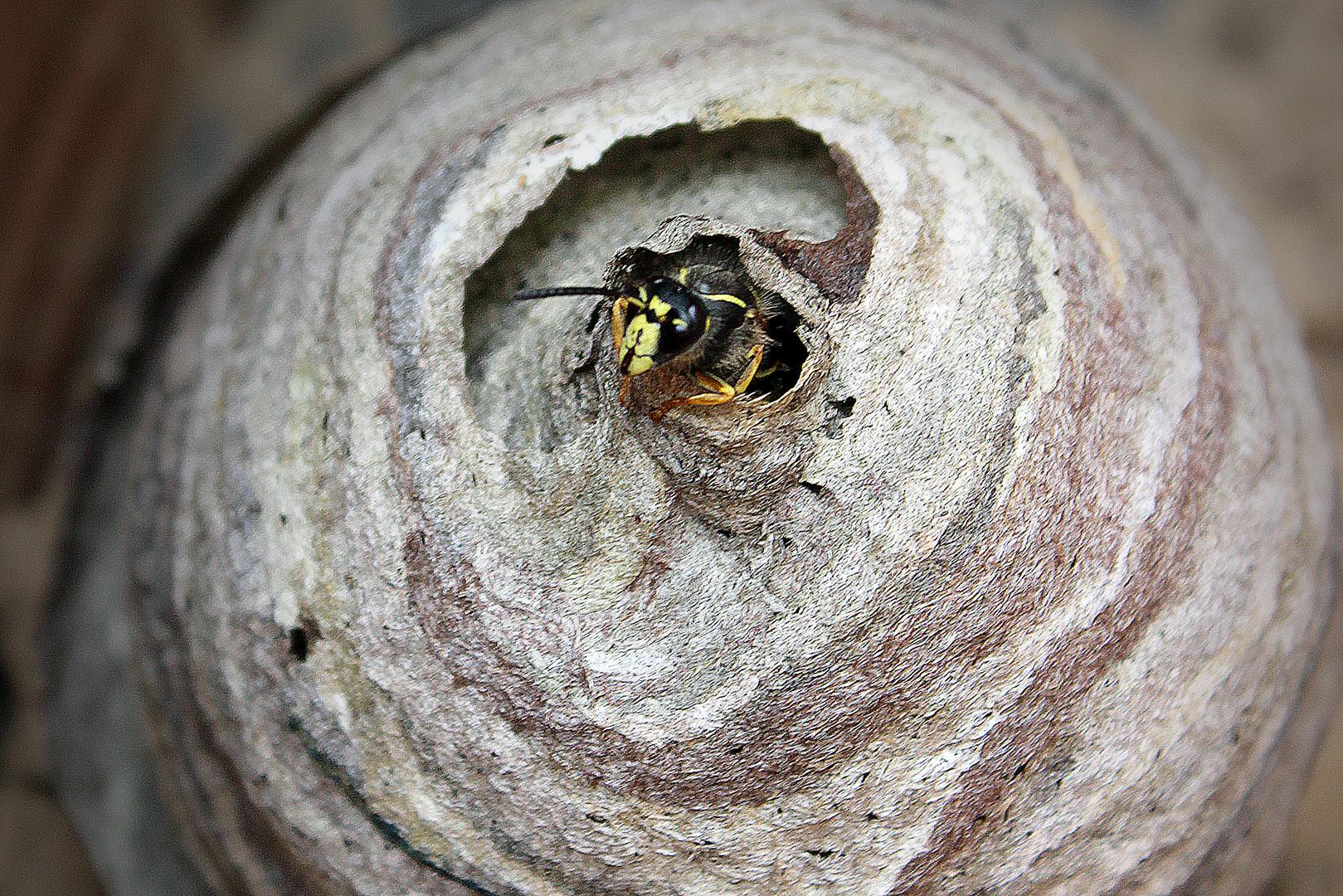 HILFE - ein Wespennest in meinem Garten!