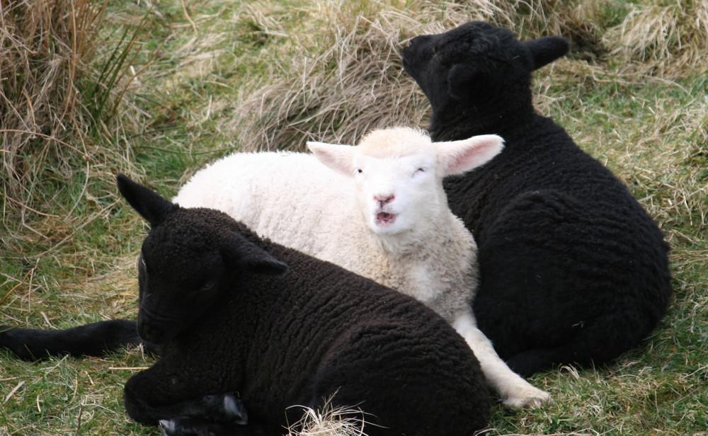 """""""Hilfe, ich bin von schwarzen Schafen umgeben!"""""""