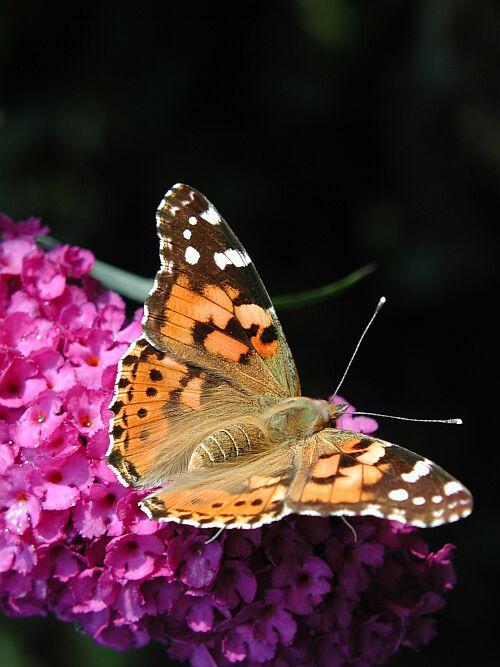 Hilfe was ist das für ein Schmetterling