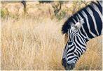 Hilfe! Zebra knabbert Fotorahmen an ...!!!