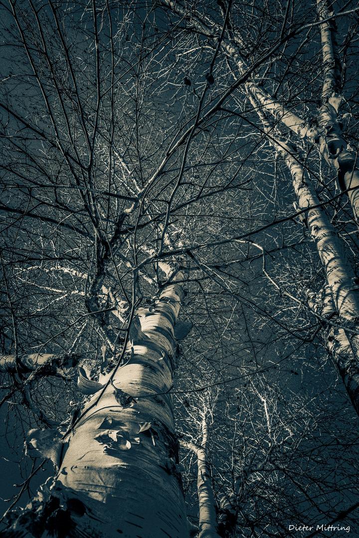Himalaya Birke himalaya birke foto bild bäume baum weiß bilder auf fotocommunity