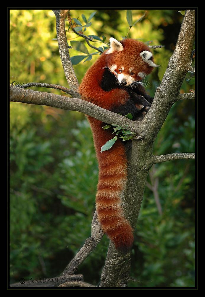 Himalayan Red Panda