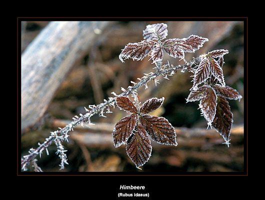 Himbeerblätter im Frost