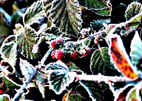 Himbeeren im Frost unscharf maskiert
