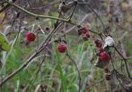 Himbeeren im November
