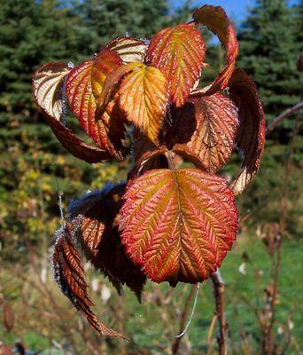 Himbeerstrauch im Herbst