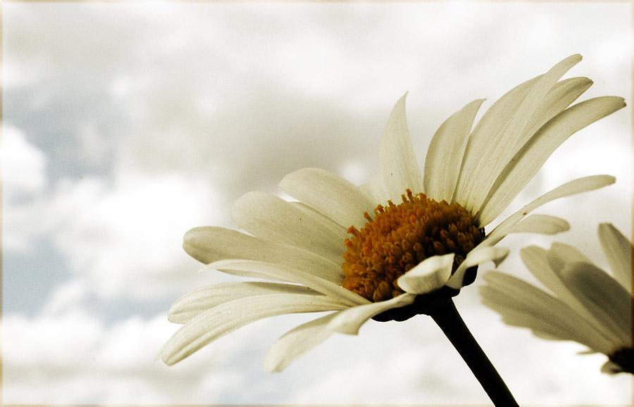 Himmel - Blume