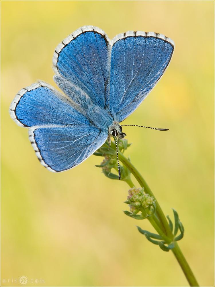 Himmelblauer Bläuling - Polyommatus bellargus