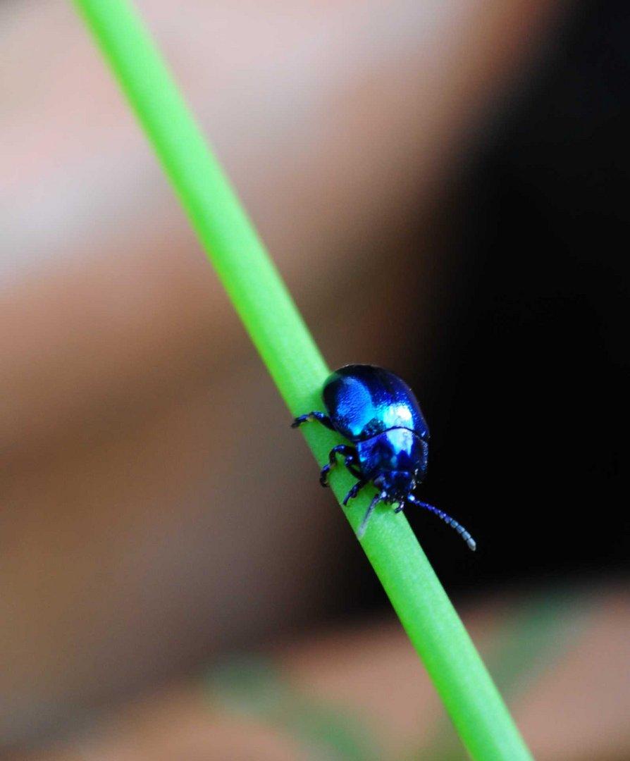 Himmelblauer Blattkäfer