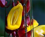 Himmelsblume (Thunbergia mysorensis)