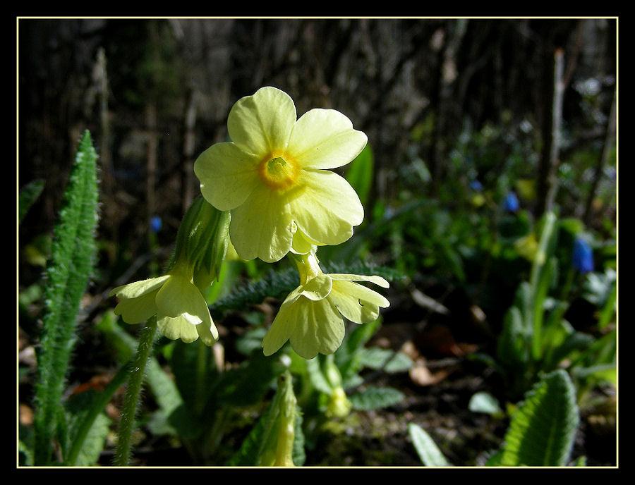 Himmelsschlüssel (Primula veris)