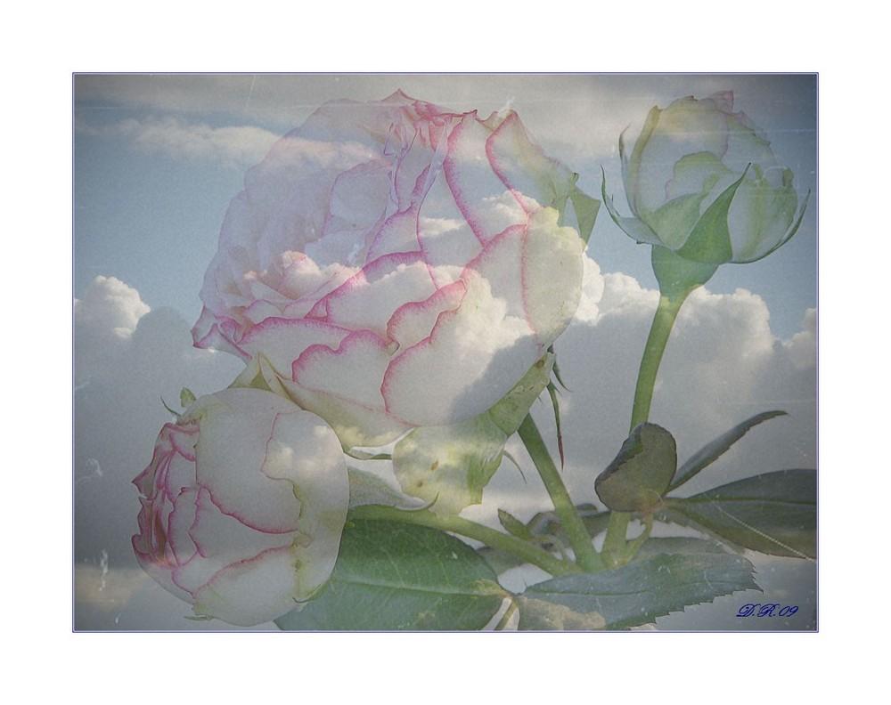 himmlische Freilandrose