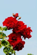 Himmlische Rose