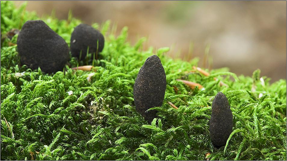 Hinkelsteine im Moos