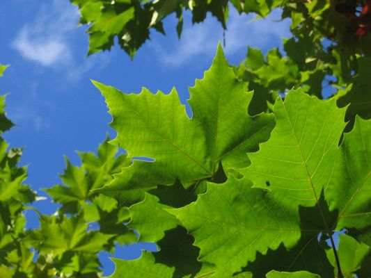 Hinter den grünen Blättern der Himmel in Blau