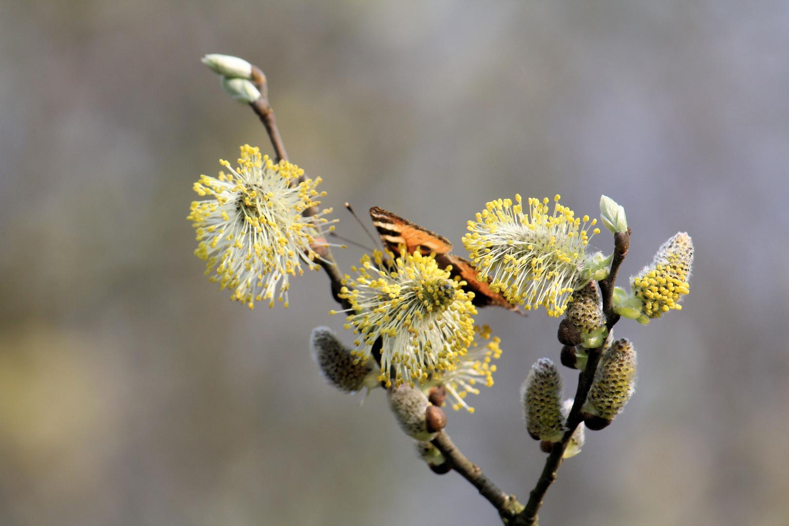hinter den Weidenkätchen luggt ein Schmetterling hervor