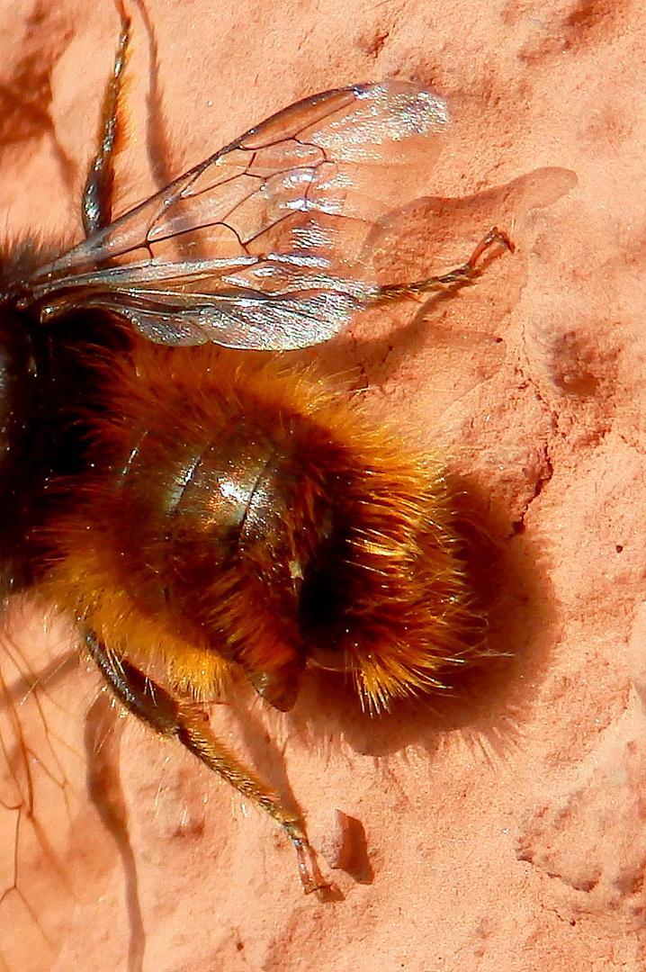 Hinteransicht ... ist das wirklich eine Mauerbiene?