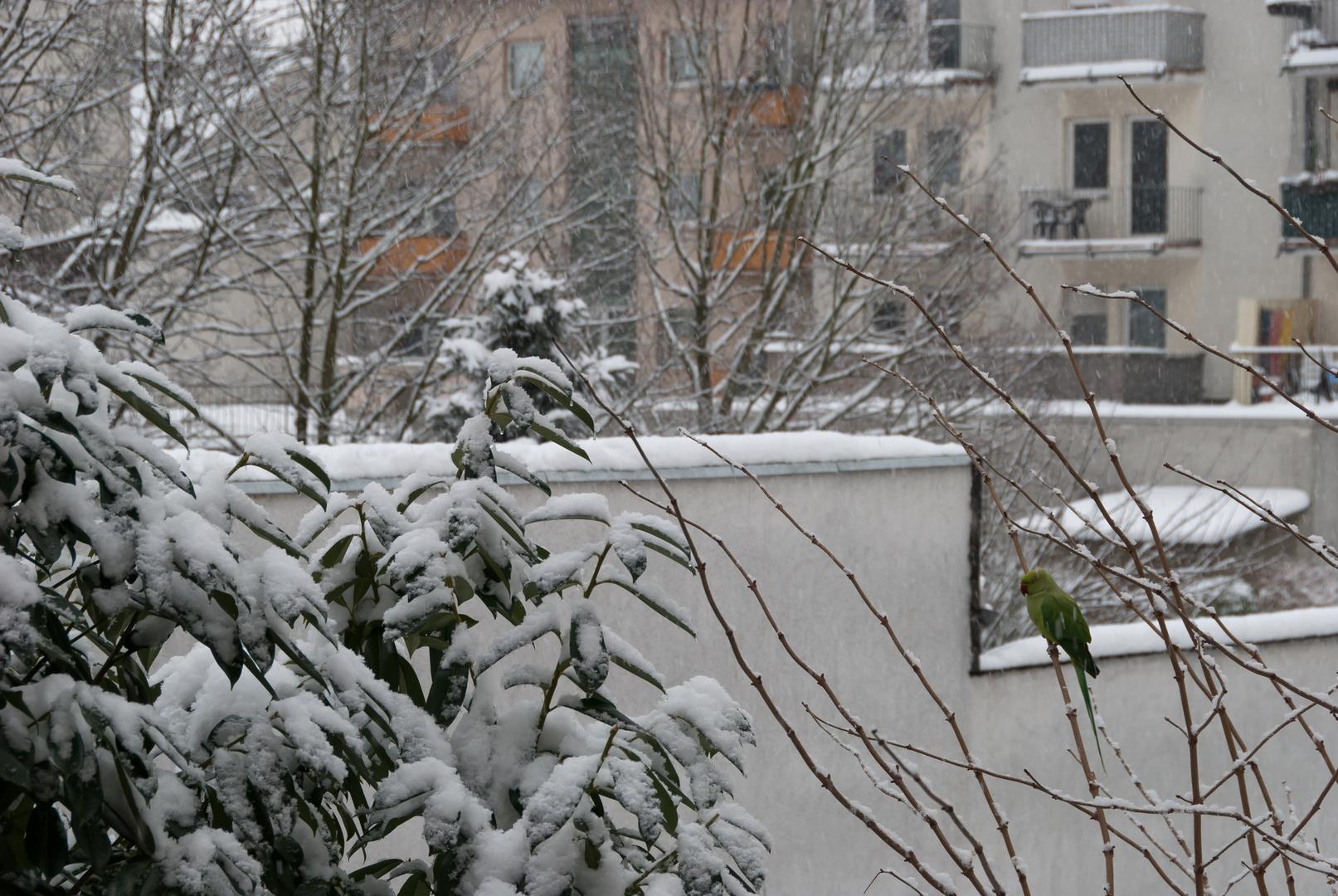 Hinterhofromantik mit Schnee und Halsbandsittich