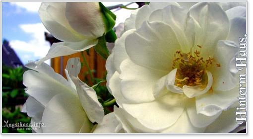 Hinterm Haus - Rosen an der Hauswand
