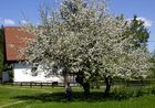 Hinterstoder - Schattenspendende Blüten