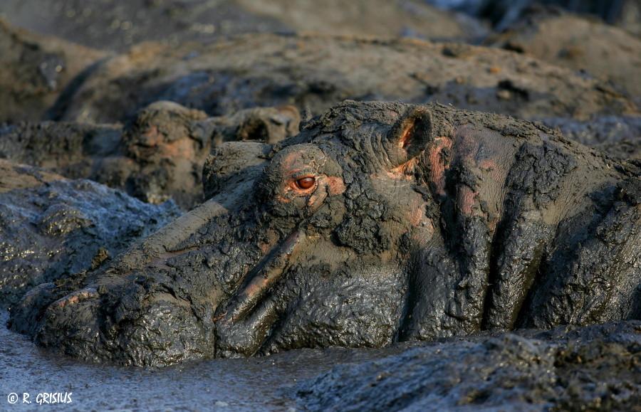 Hippo im Schlamm, Katavi N.P. Tansania