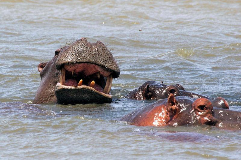 Hippo-Pool